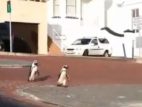 پنگوئنها در کیپ تاون افریقای جنوبی در خیابان قدم میزنند