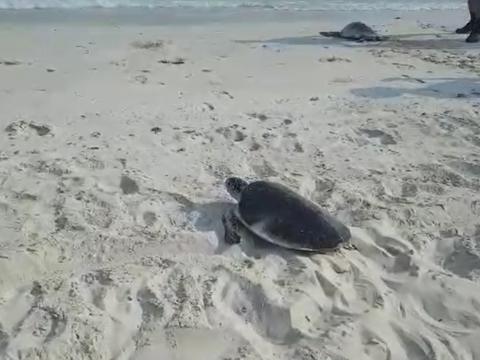دو قطعه لاکپشت سبز در دریا رهاسازی شدند